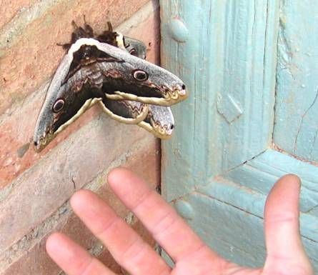 giant peacock moths