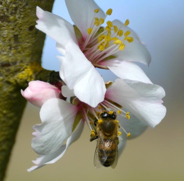 Almond : a symbol of delicacy