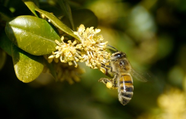 Honey bee collecting box pollen (Buxus sempervirens)
