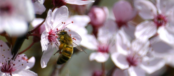 "Honey bee on Cherry Plum (Prunus cerasifera ""Nigra"")"