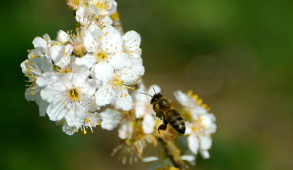 Honey Bee on ornamental plum (Prunus cerasifera)