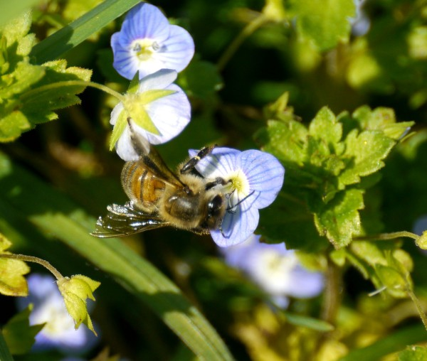 Honey bee on Common Field-speedwell (Veronica persica).