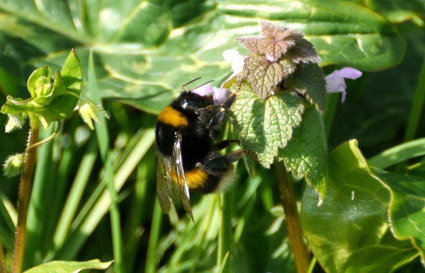 Bumblebee on Red Dead-nettle (Lamium purpureum)