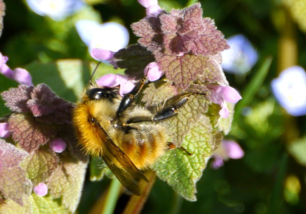 Common Carder Bee (Bombus pascuorum)