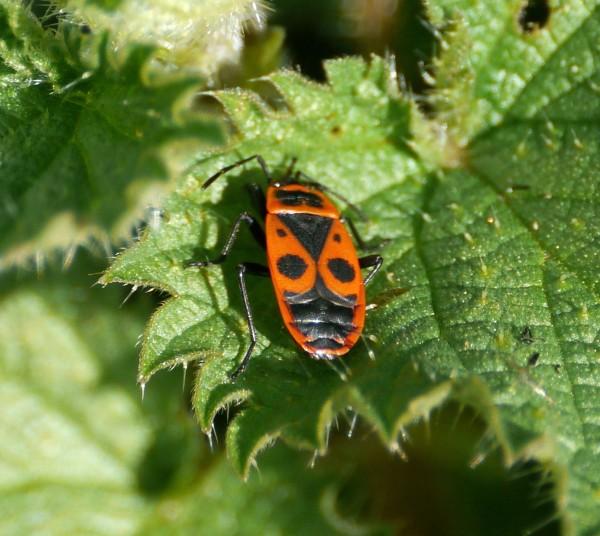 Fire Bug (Pyrrhocoris apterus)