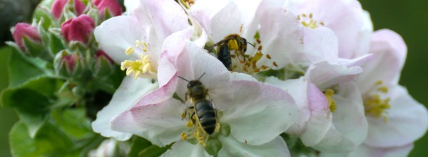 honey bees on apple blossom - this one is a Bramley apple