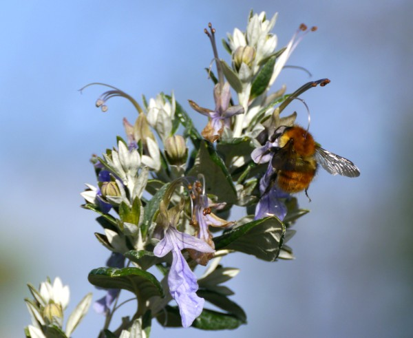 bee on tree germander (Teucrium fruticans)