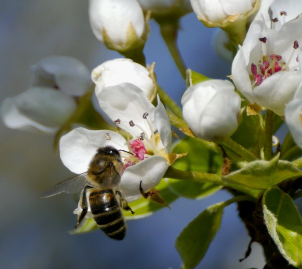 honey bee on pear blossom - doyenne du comice to be exact