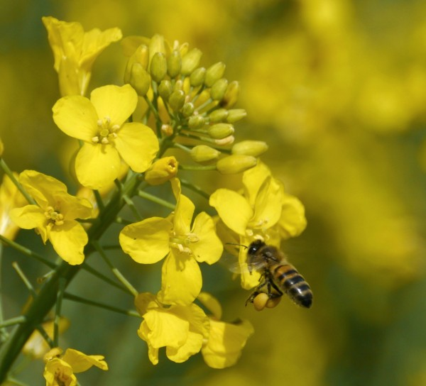 honey bee on Brassica napus