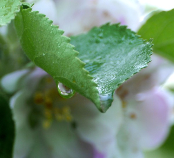 raindrop with apple blossom