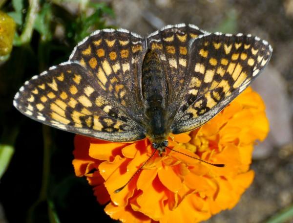 Heath Fritillary ~ Melitaea athalia