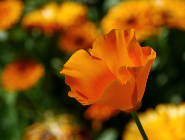 Californian poppy ~ Eschscholzia californica