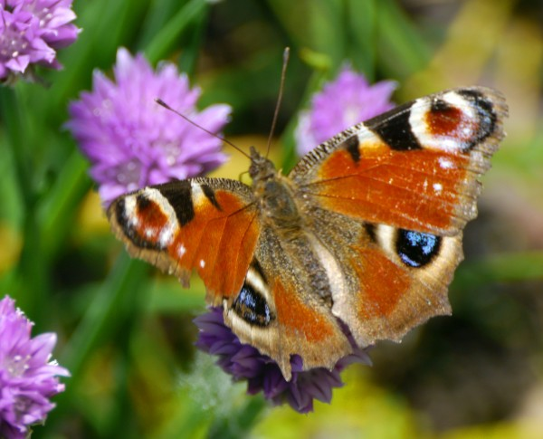 a rather tatty Peacock Butterfly (Inachis io) feasting on chive flower