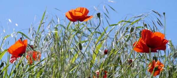 poppies swaying in the breeze