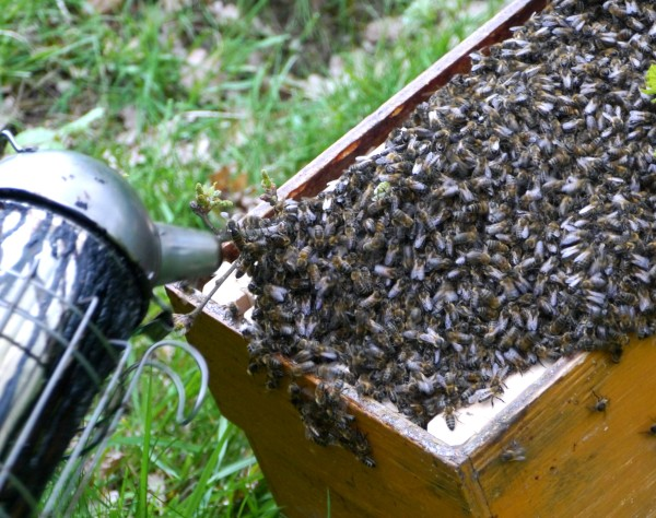 the smoker is used to encourage the bees to enter into the hive