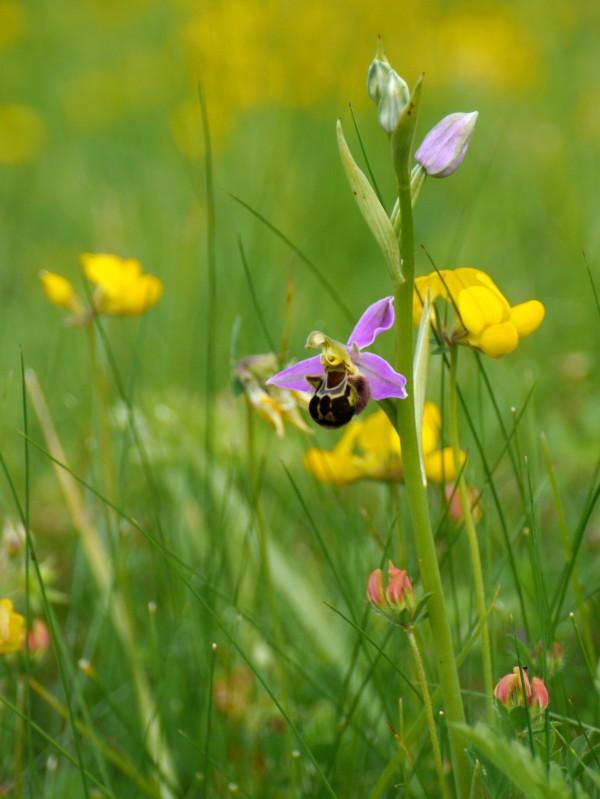 Bee orchid (Ophyrys apifera)