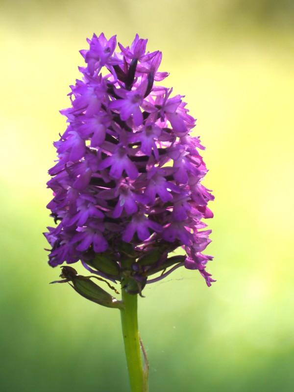 Pyramid Orchid (Anacamptis pyramidalis)