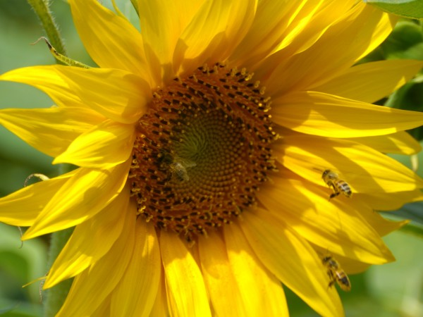 bee_sunflowers_1