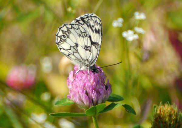 Marbled White Butterfly (Melanargia galathea) on clover