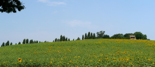 sunflowers_early_2