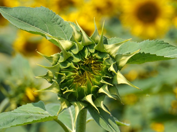 sunflowers_early_3