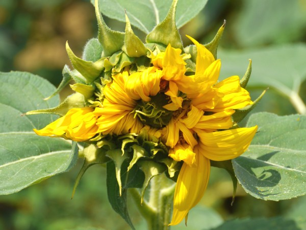 sunflowers_early_4