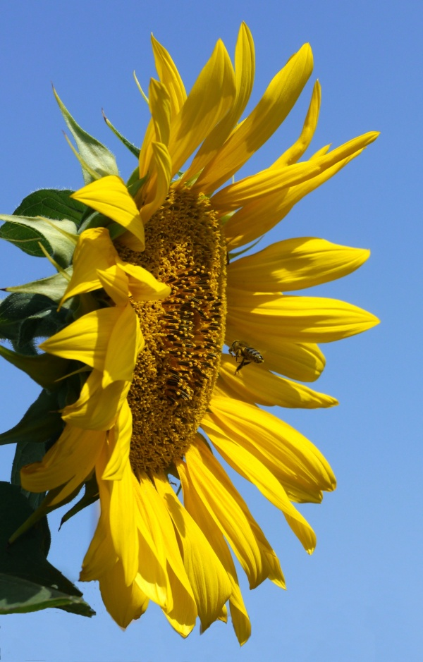 bee_sunflowers_2
