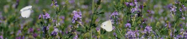 butterfly_alfalfa_1