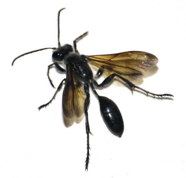 Organ Pipe Mud Dauber Wasp (Trypoxylon politum)