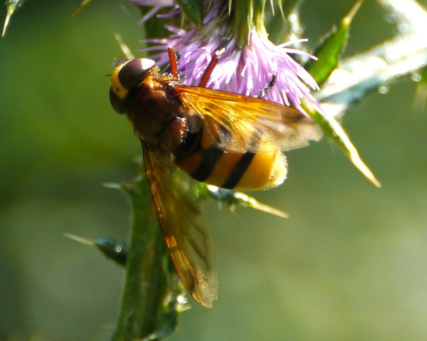 Belted Hoverfly (volucella zonaria)