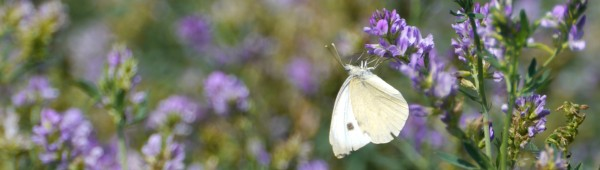 Bfly_cabbage_white_under_alfalfa_1