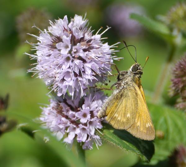 Skipper Butterfly my, what big eyes you've got