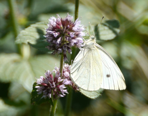 Large White or Cabbage White Butterfly (Pieris brassicae)