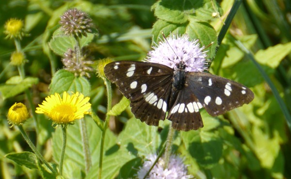 Southern White Admiral Butterfly (Limenitis reducta)