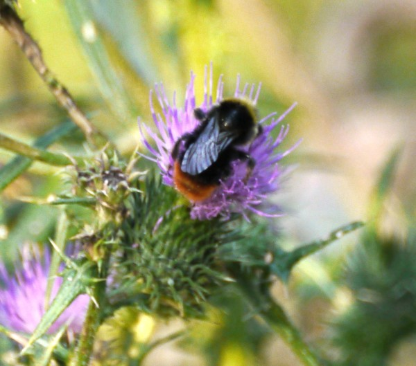 Red Tailed Bumblebee : male(Bombus lapidarus)