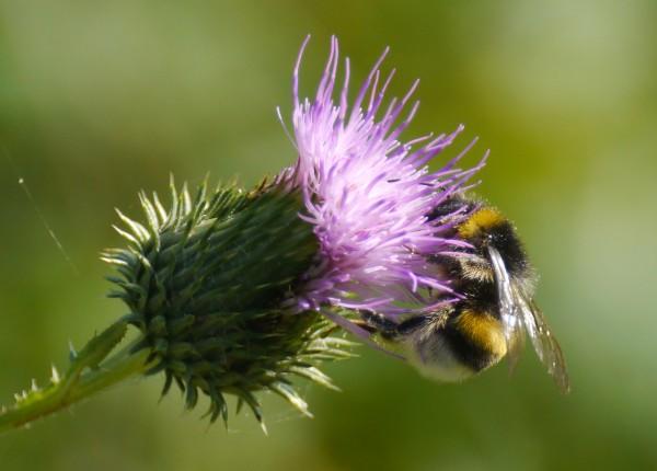 bumblebee_thistle_4