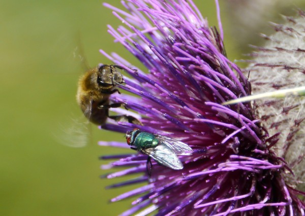 Blowfly sharing with a honey bee