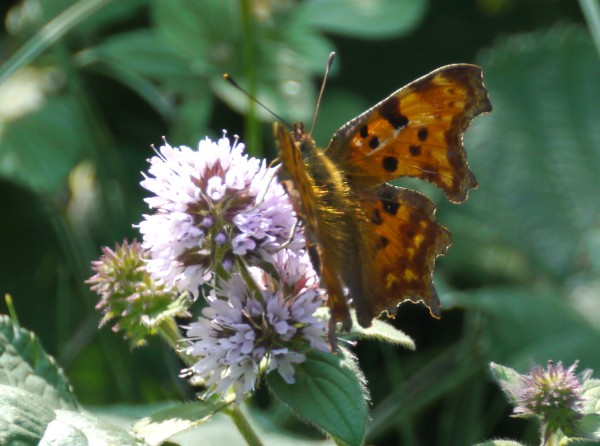 Large Tortoishell Butterfly (Nymphalis polychloros)
