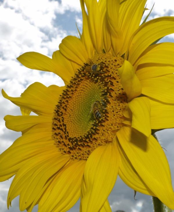 bee_sunflower_7