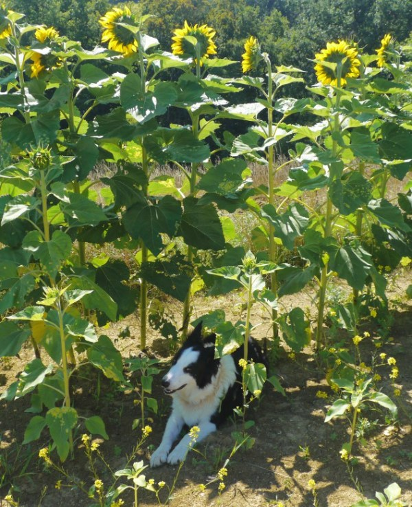 blog_sunflowers3