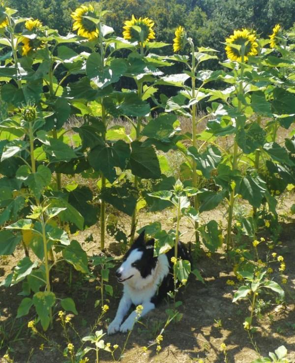 blog_sunflowers3