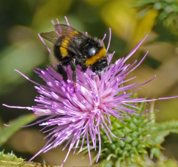 bumblebee_thistle_1
